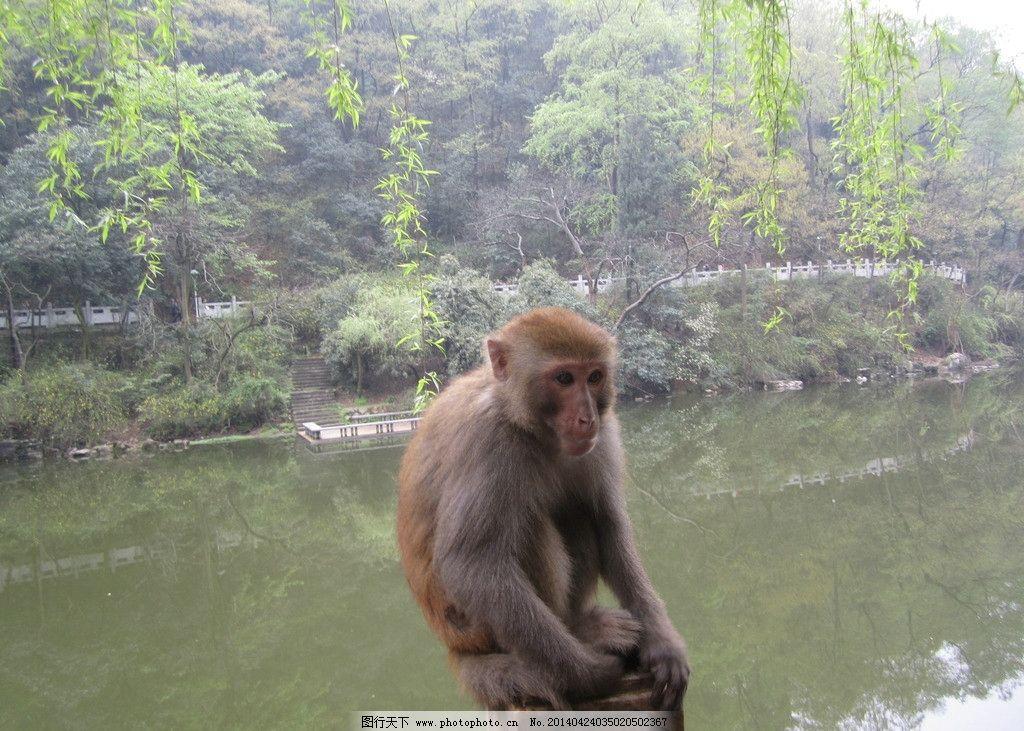 猴子 素材下载 松猴 湿地 生态 环境 动物 自然 野生动物 生物世界