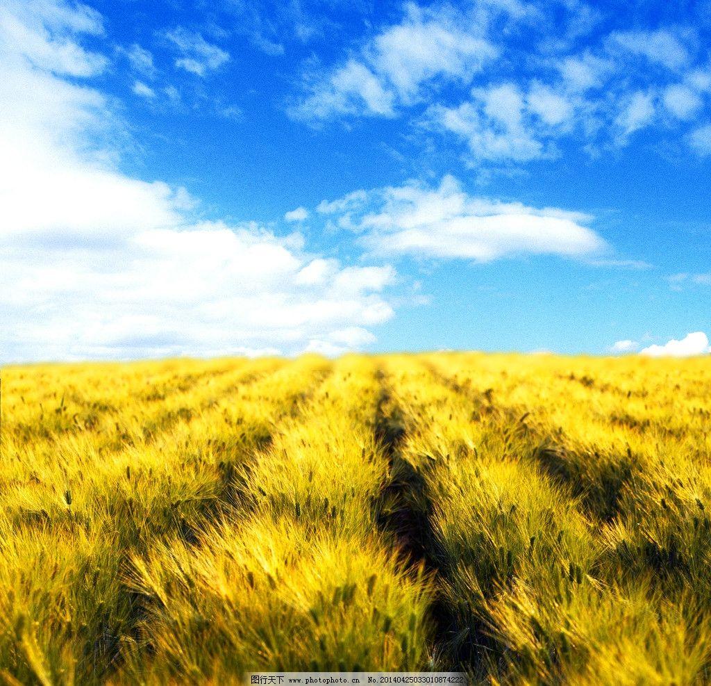 藍天白云小麥豐收圖 豐收風景 小麥成熟 一片小麥 秋收 源文件