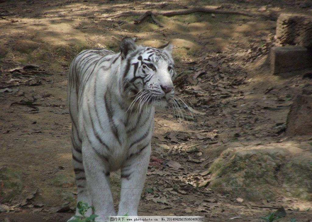 白虎 虎 西伯利亚虎 公园 动物园 摄影 动物     jpeg 野生动物 生物