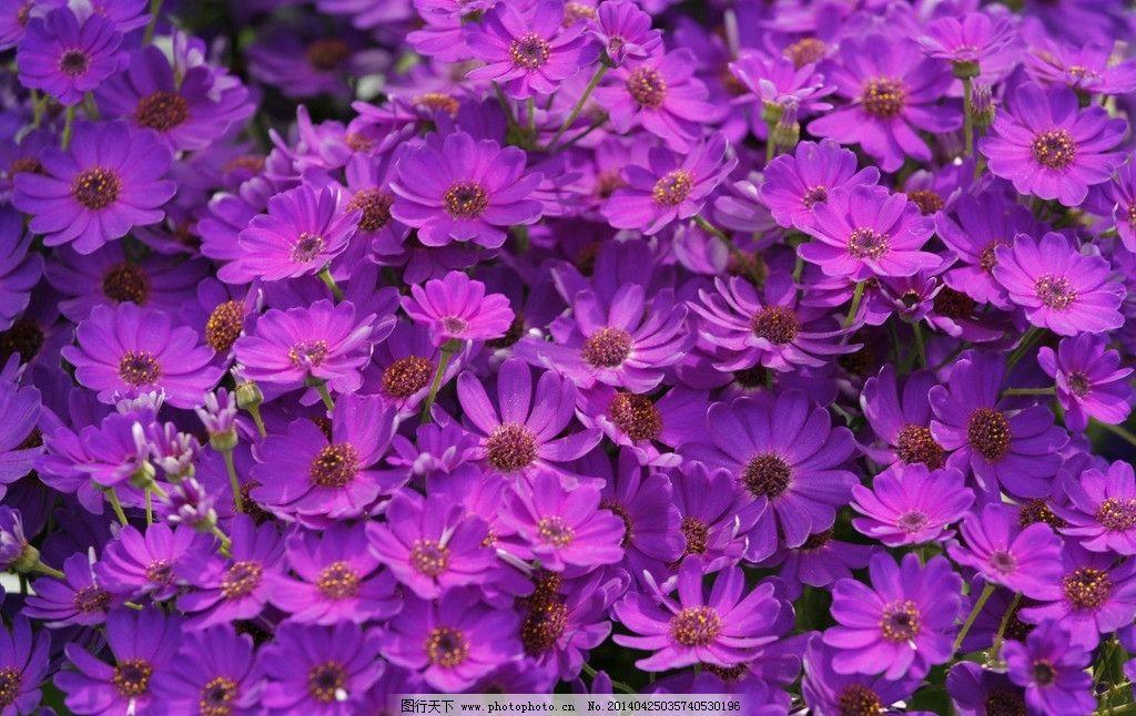 紫色花海图片