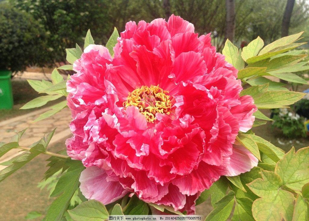 洛阳牡丹花图片