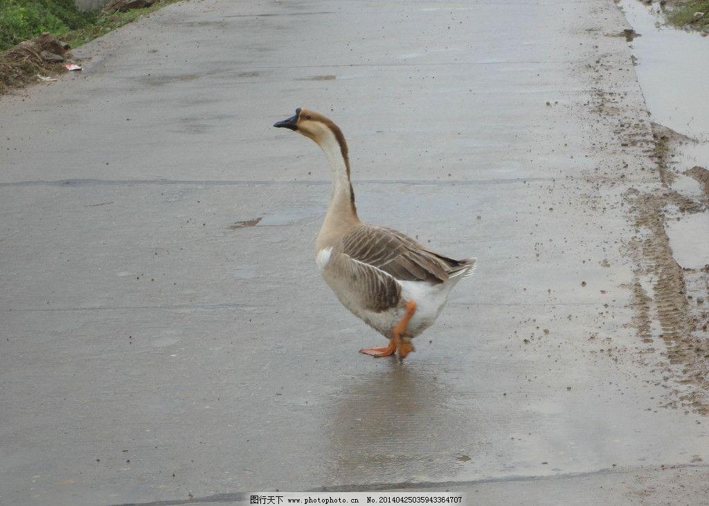 家鹅 鹅 家禽 大鹅 动物 灰鹅 灰色鹅 家禽家畜 生物世界 摄影 72dpi