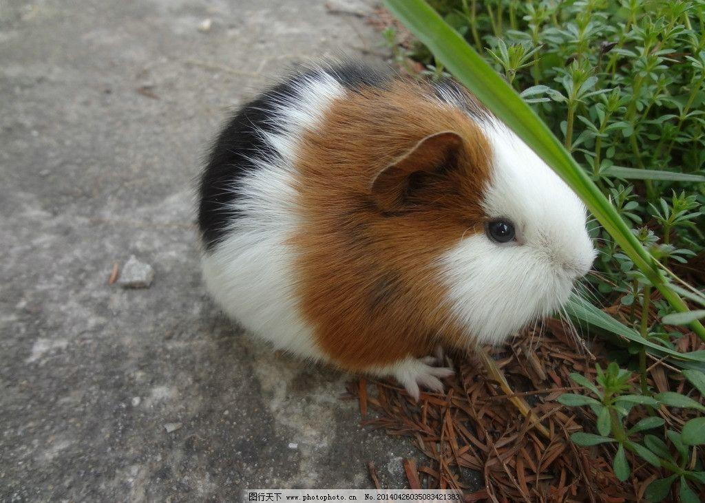 豚鼠 豚鼠图片素材 荷兰猪 宠物 可爱 萌 饲养 老鼠 荷兰鼠 黄白 皮毛