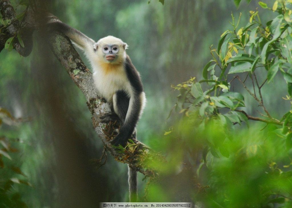 猴子 动物 绿色森林 白毛猴 黑毛猴 野生动物 生物世界 摄影