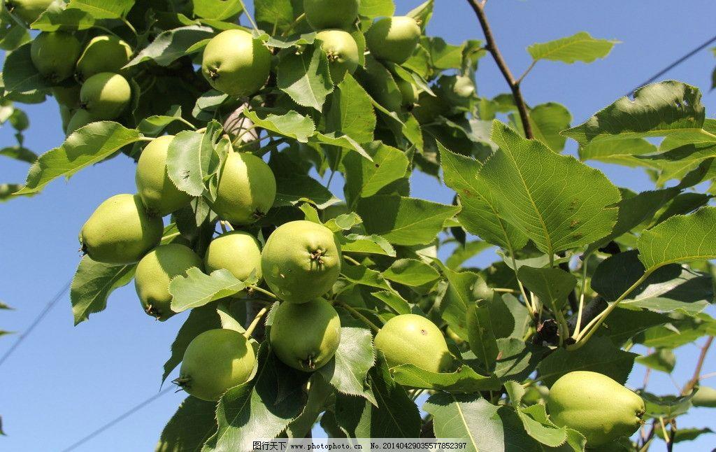 苹果 果树 果实 风景 风光 水果 生物世界 摄影 72dpi jpg