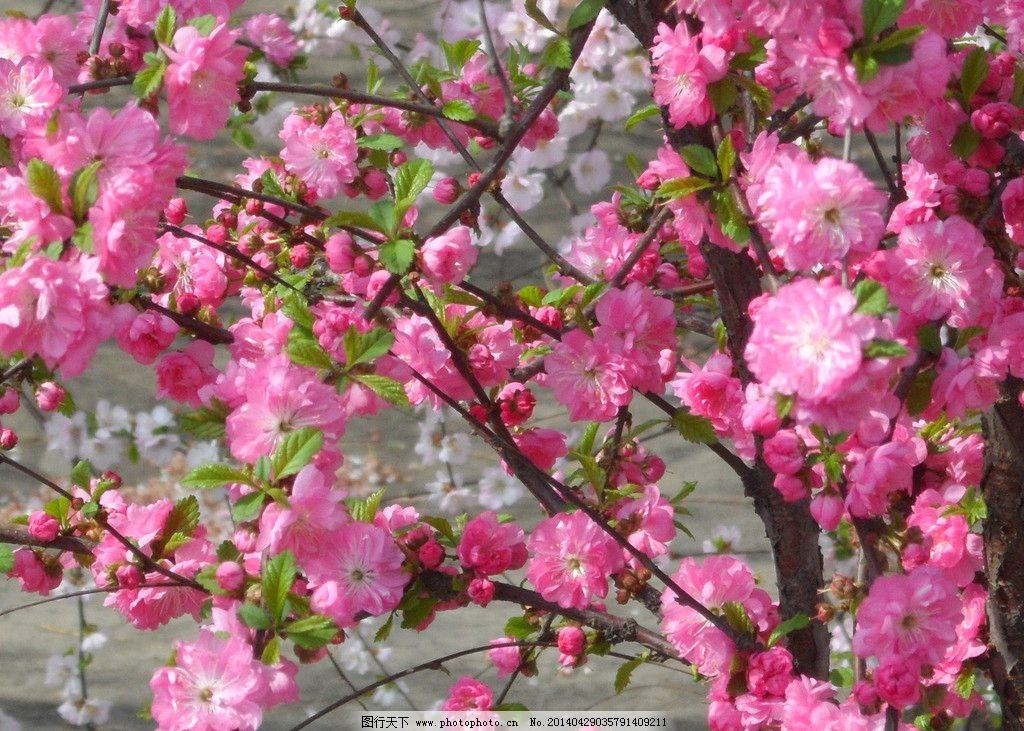 榆叶梅花图片