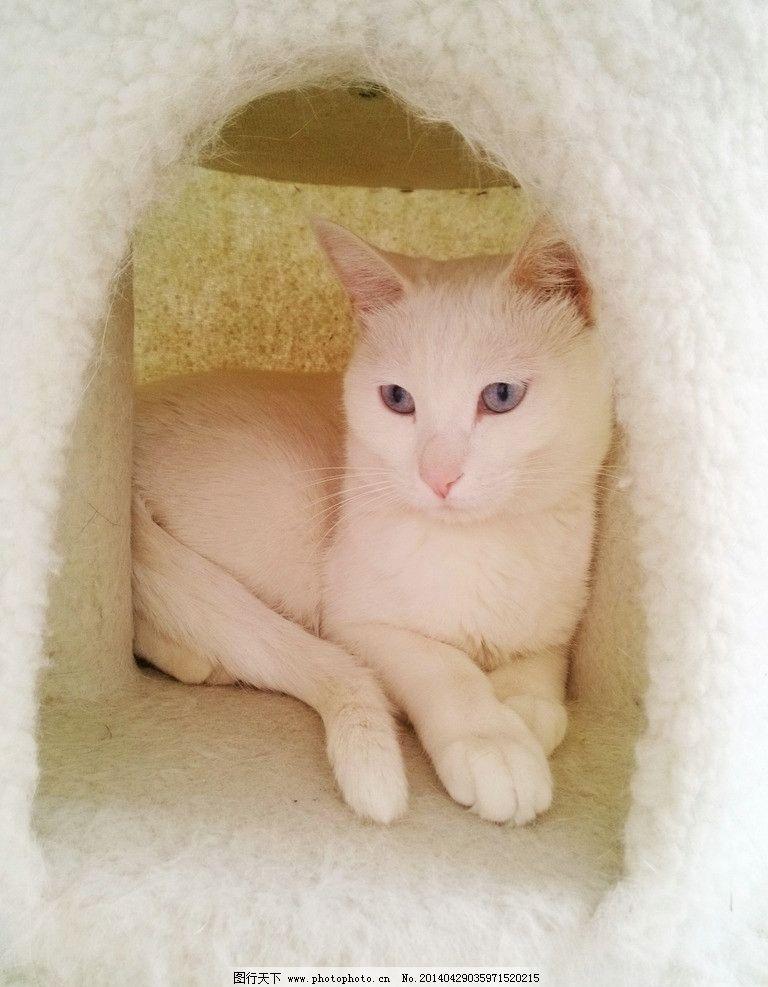 猫咪 家猫 白猫 宠物 动物 萌 摄影