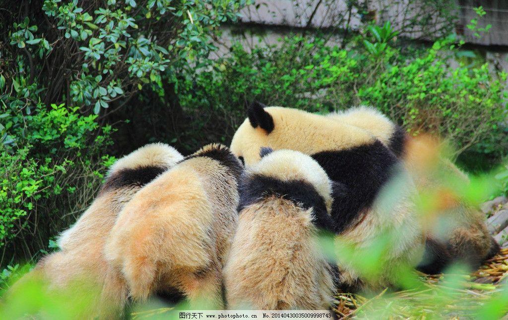 大熊猫 四川 成都 大熊猫繁殖基地 动物 野生动物 生物世界 摄影 350