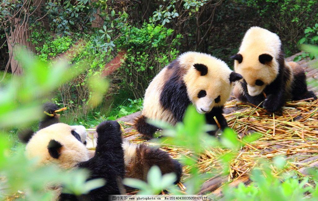 大熊猫 四川 成都 大熊猫繁殖基地 动物 摄影