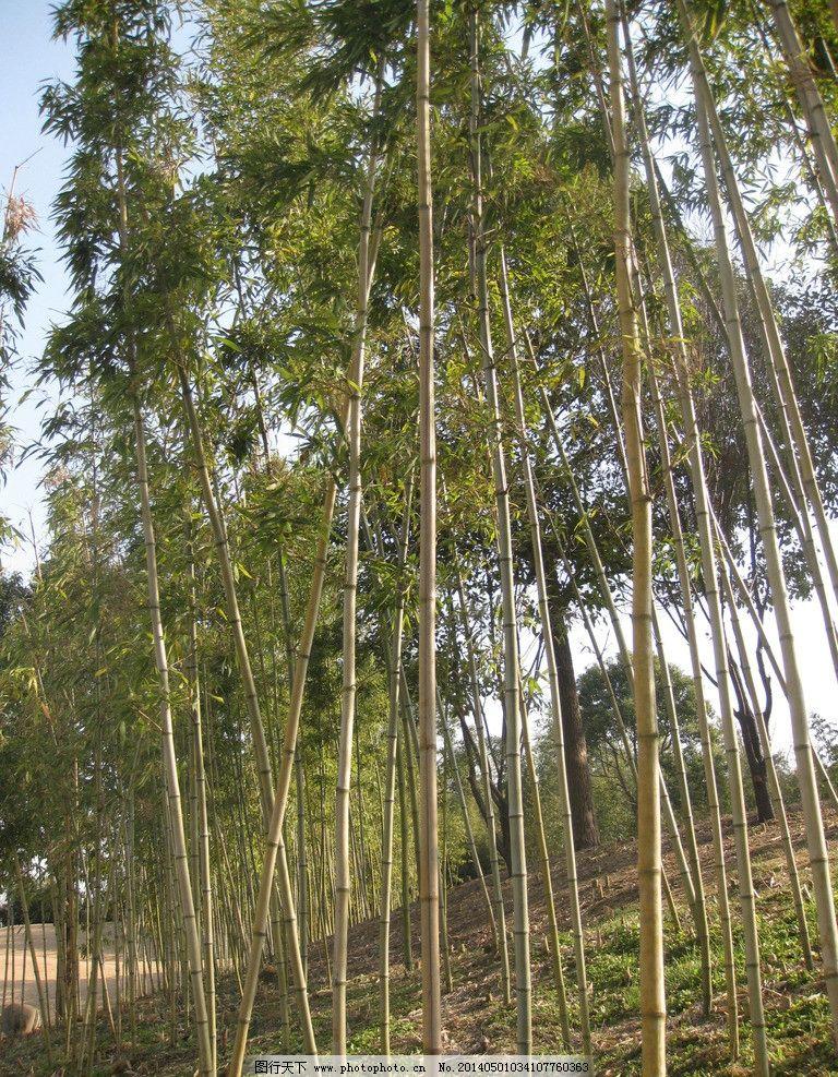 黄杆金竹 竹子 绿色的 稀有 白天 江南 自然风景 旅游摄影 摄影
