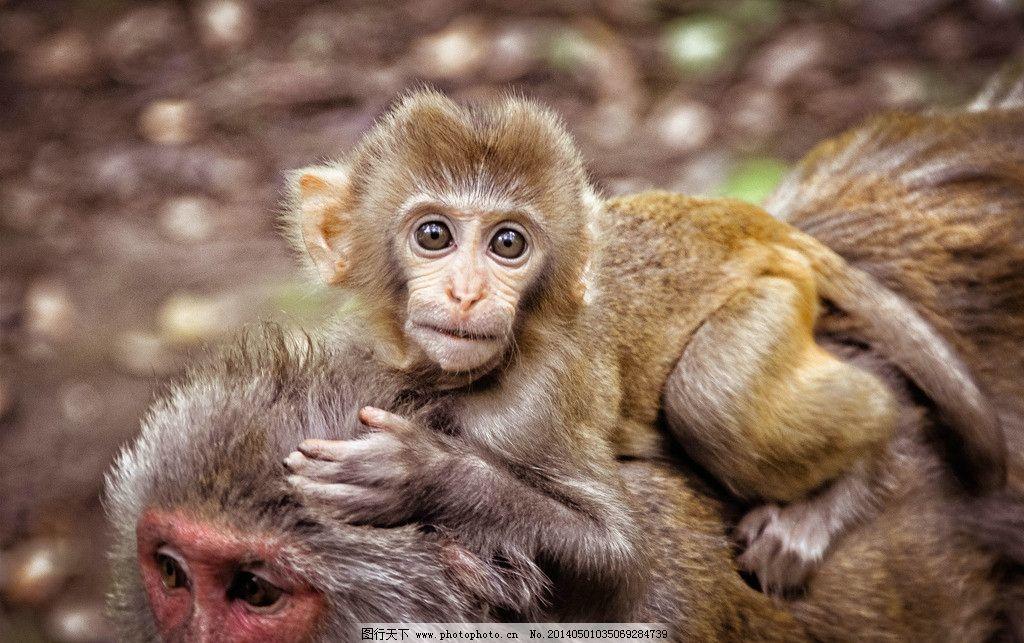 小猴子特写摄影 小动物 动物特写 野生动物 生物世界