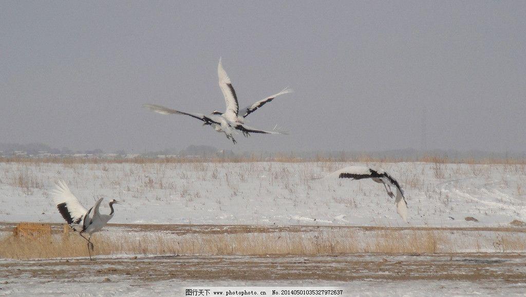 雪中起舞的鹤 高清壁纸 背景图片 魅力自然 翱翔天空的鸟儿 生命奇迹