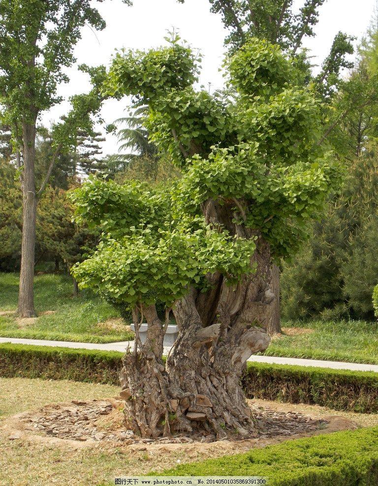 园林绿植 银杏 夏天 园林 绿色 树 树木树叶 生物世界 摄影 300dpi
