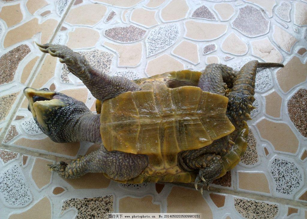 乌龟 龟 鹰嘴龟 大头龟 野生乌龟 野生动物 生物世界 摄影 300dpi jpg