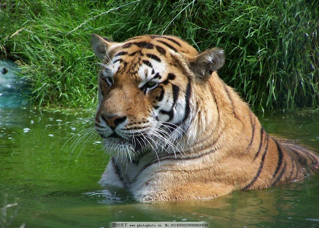 老虎 野生动物 生物世界 高清老虎 摄影