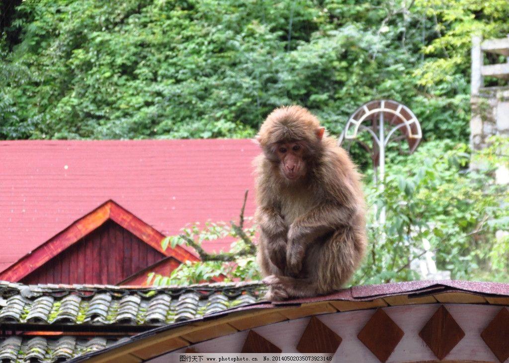 猴子 野生 毛茸茸 坐着 风景 野生动物 生物世界 摄影 180dpi jpg