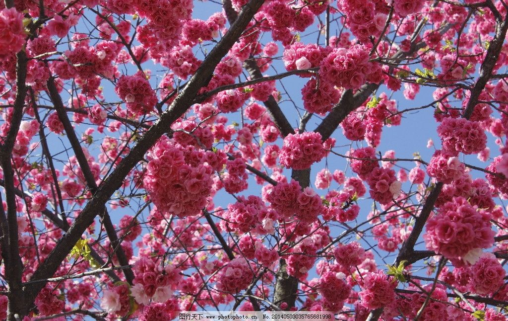 云南樱花 粉色 红色 花束 花球 树 花草 生物世界 摄影 72dpi jpg