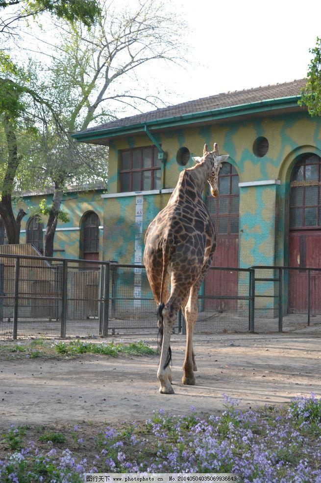 长颈鹿 动物园 背影 动物