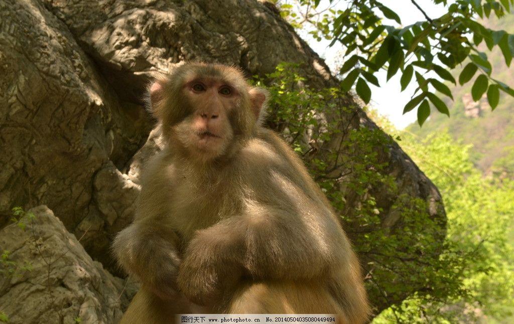 八里沟 猴子 猕猴 猕猴照片 八里沟的猴子 八里沟风景 野生动物 生物