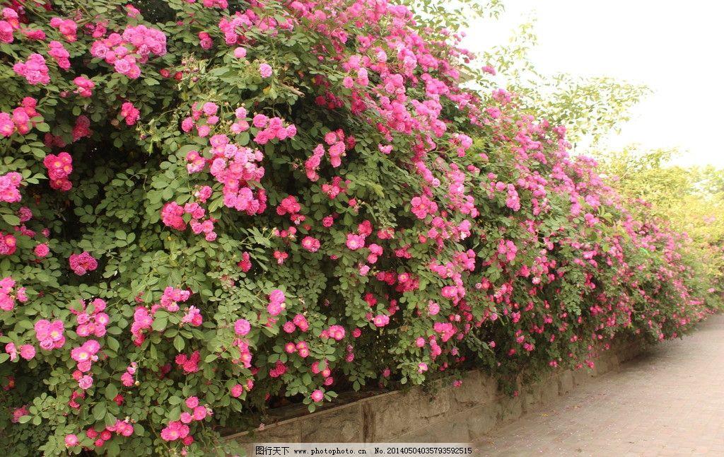 蔷薇花图片