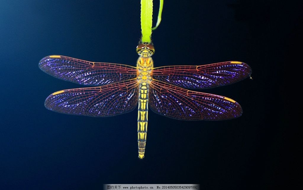 蜻蜓 蜻蜓图片素材下载 节肢动物 昆虫 复眼 生物世界 摄影 300dpi