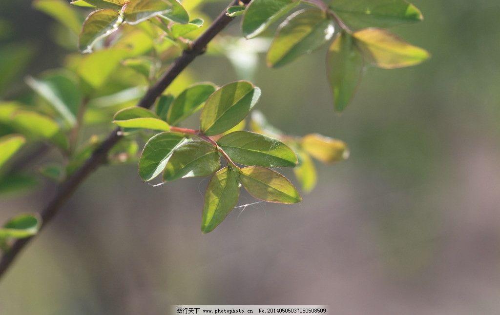 杏树叶 杏树 杏树叶图片 杏叶子 叶子 杏叶 生活素材 生活百科 摄影