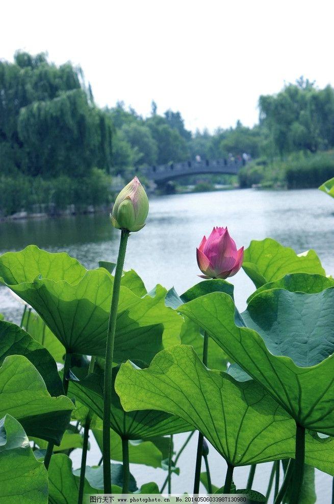 潍坊植物园 荷花图片