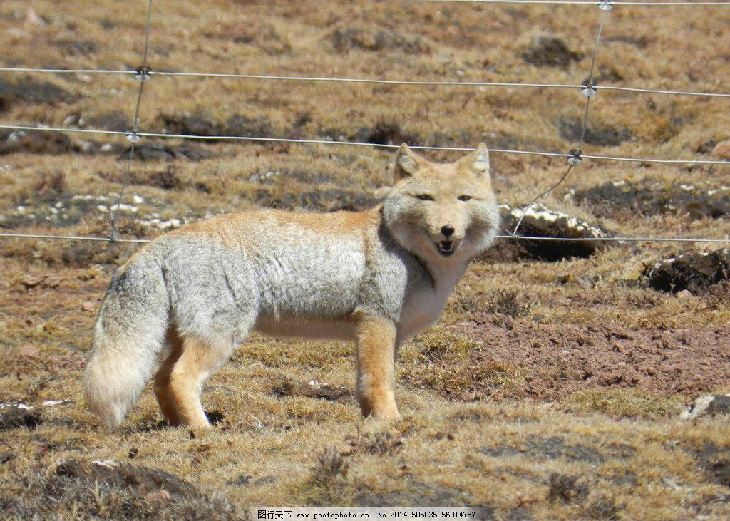狐狸 草原上的动物 幼狐狸 草原上的精灵 西北风光 野生动物 生物世界