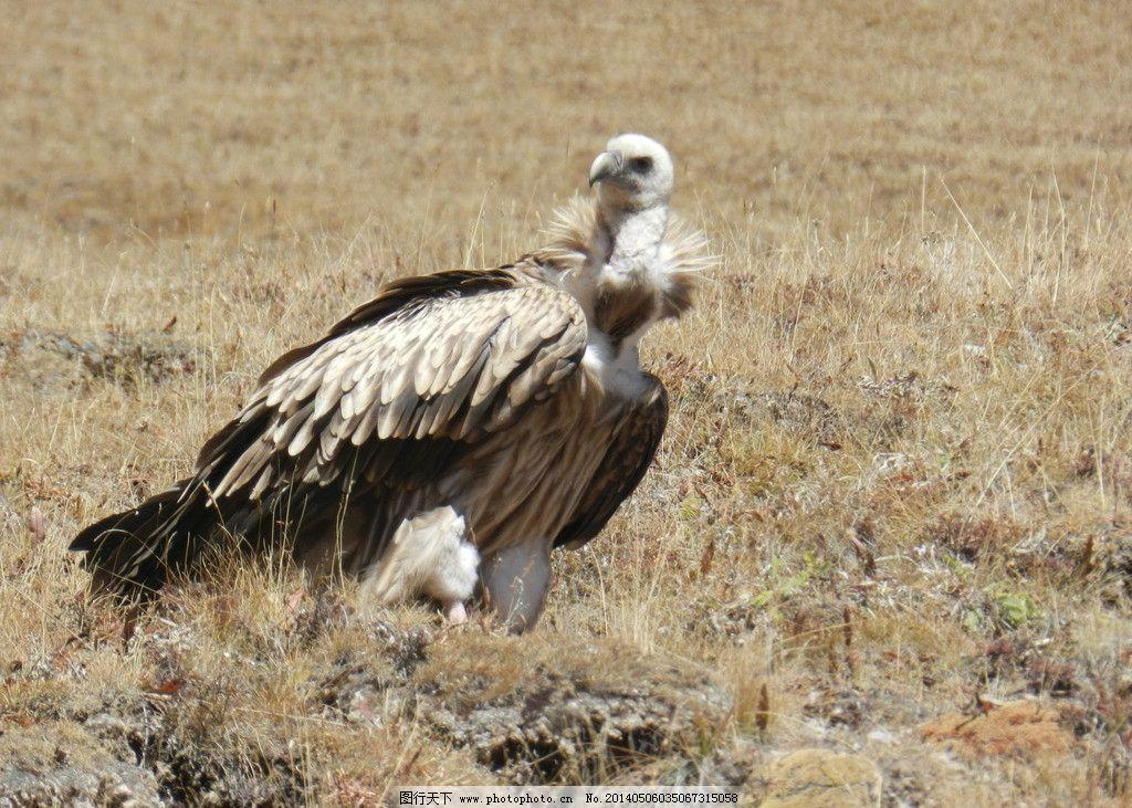 秃鹫 草原上的动物 西北动物 鹫 草原上的精灵 野生动物 生物世界