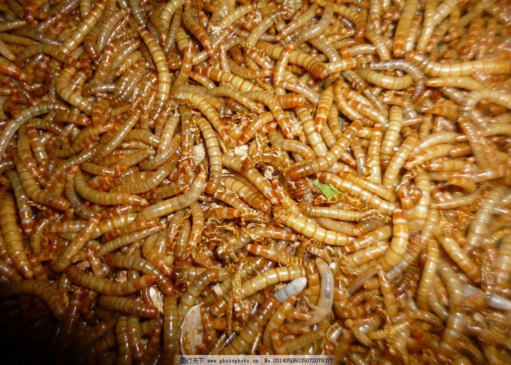 黄粉虫 小动物 昆虫 小虫虫 甲壳虫 养殖 动物 野生动物 生物世界