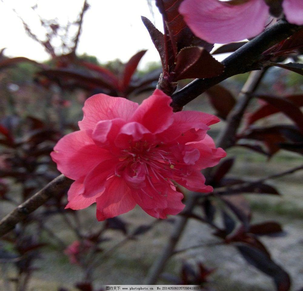 粉红桃花 春天 花蕾 红色的 娇嫩的桃花 摄影