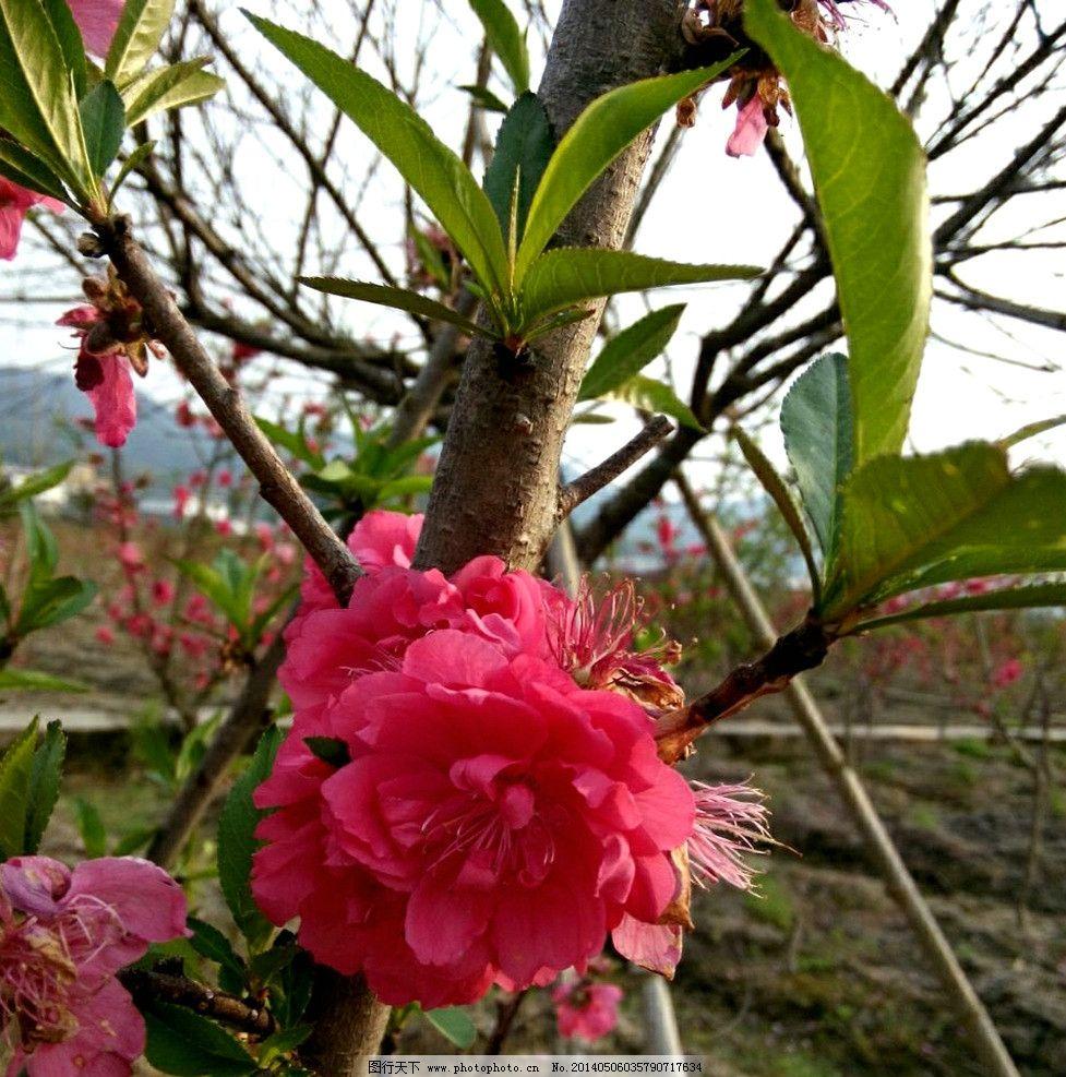 娇嫩的桃花 花 桃花 春天 花蕾 红色的 花草 生物世界 摄影 1dpi jpg