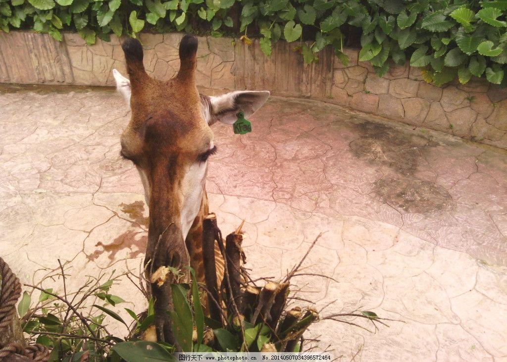 长颈鹿 动物 可爱 植物 吃 旅游摄影