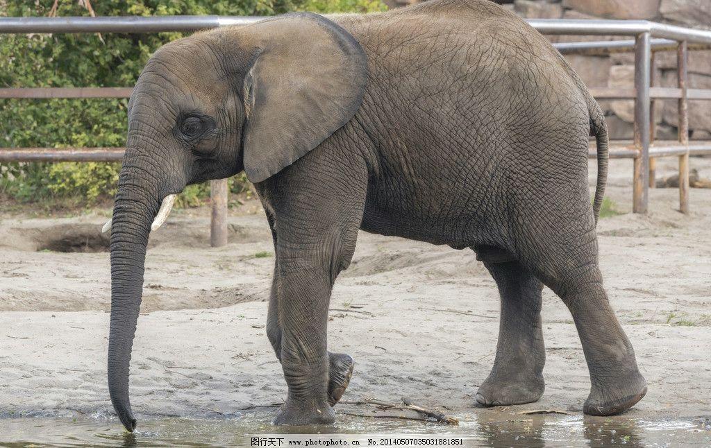 大象 大象图片素材下载 非洲象 动物 野生动物 保护动物 小动物 生物