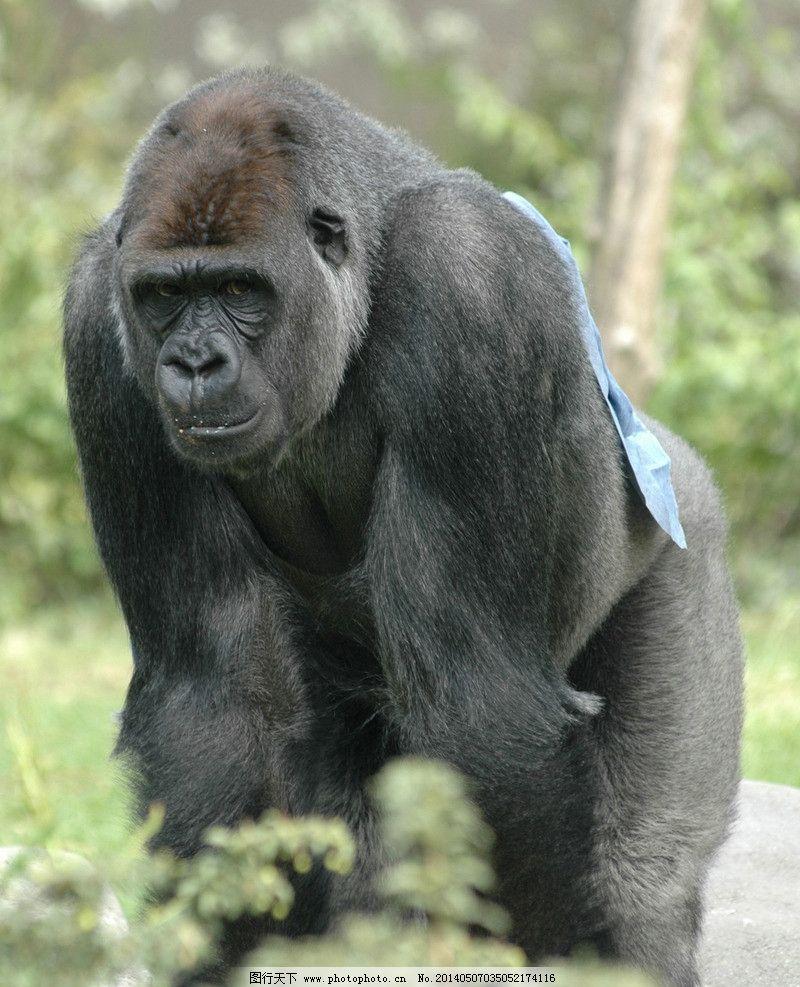 猩猩 大猩猩 猩猩素材下载 狒狒 黑猩猩 动物 野生动物 生物世界 摄影
