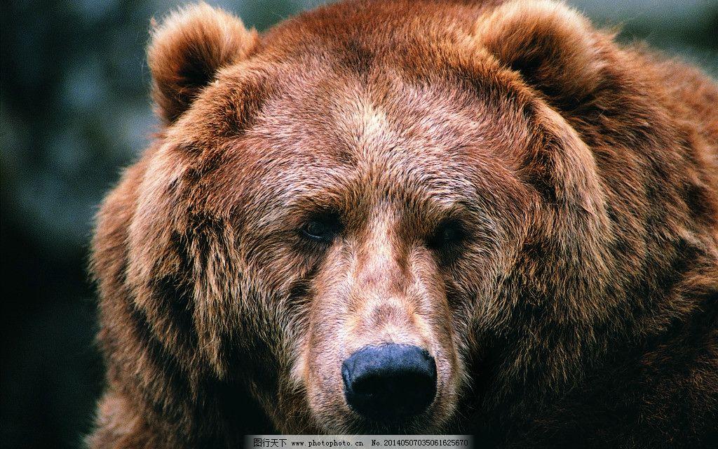棕熊 头部特写 凶猛野兽 野生动物 森林动物 生物世界 摄影 72dpi jpg