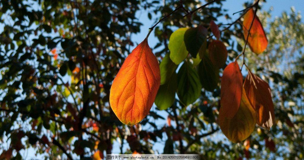 柿子树叶 红色柿子树叶 秋天柿子树叶 秋天红叶 树叶 树木树叶 生物