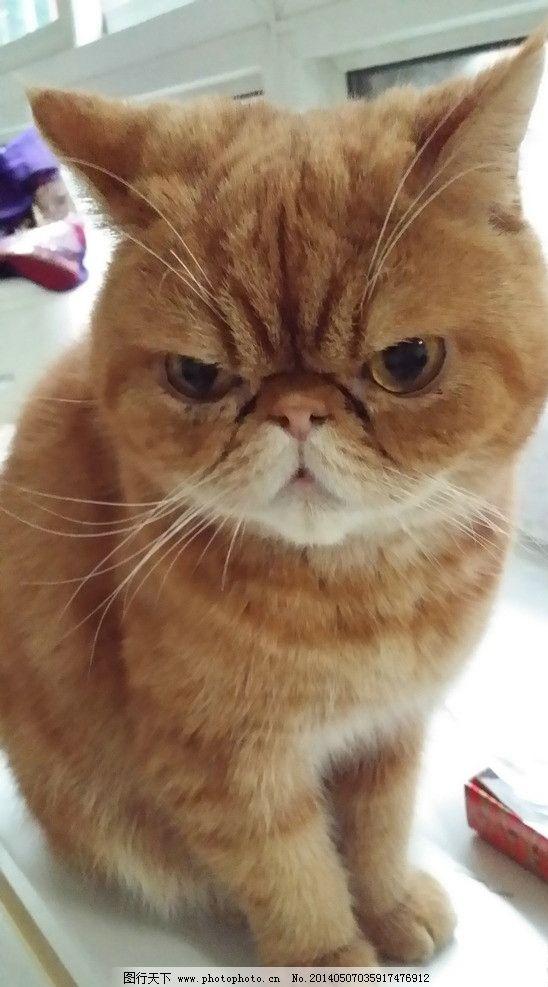 加菲猫 猫 可爱 宠物 动物 家禽家畜 生物世界 摄影 72dpi jpg