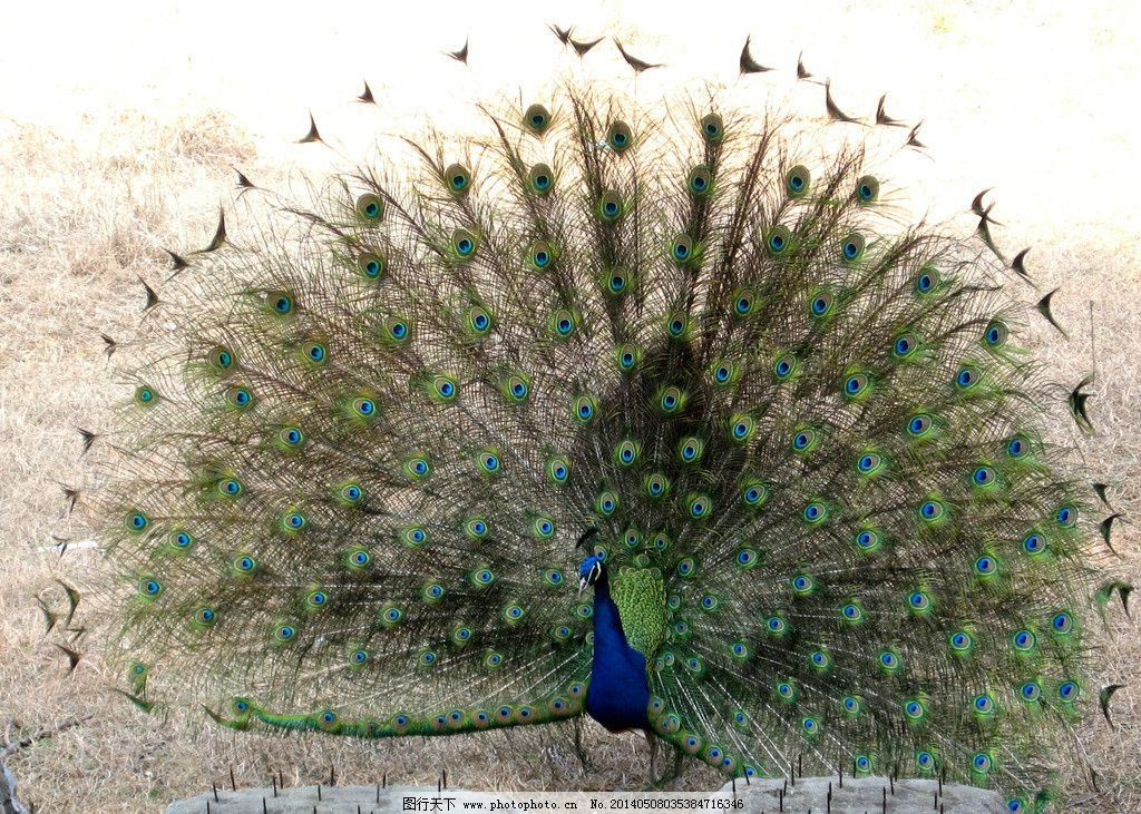 孔雀开屏 武汉 汉阳 动物园 孔雀 开屏 鸟类 生物世界 摄影 180dpi