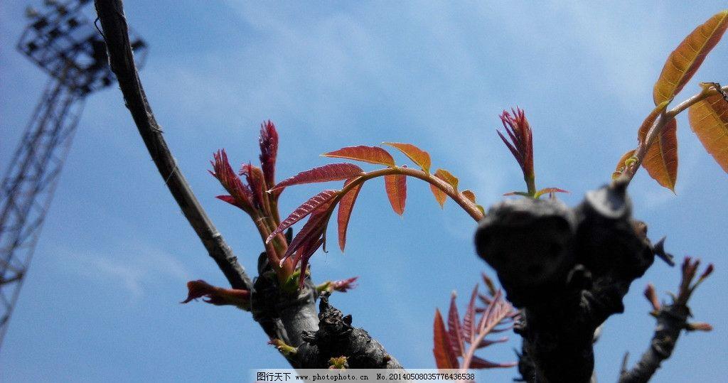 香椿树 树芽 嫩芽 红树芽
