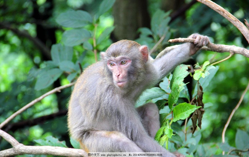猴子 树中 单个 玩耍 灵性 野生动物 生物世界 摄影 72dpi jpg