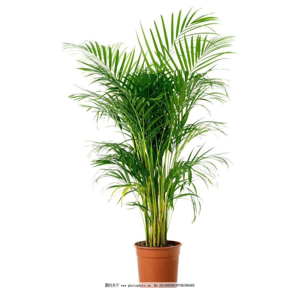 散尾竹 盆栽 室内盆栽 植物 绿色植物 树木 花草 生物世界 摄影 72dpi