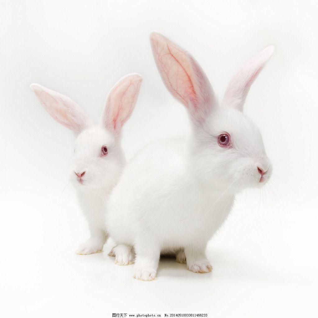 兔子 兔子免费下载 动物 小白兔 图片素材 生物世界