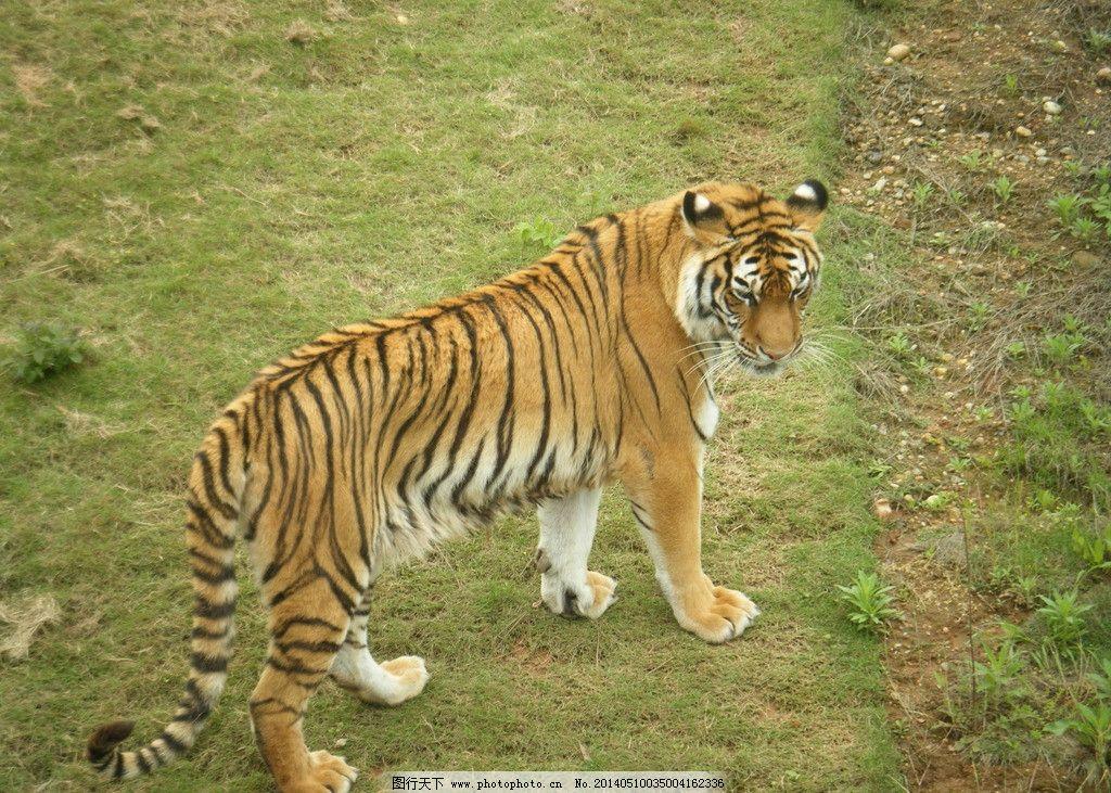 老虎 动物 公园 黄色 大老虎 动物园 公园草地 黄色调 野生动物 生物