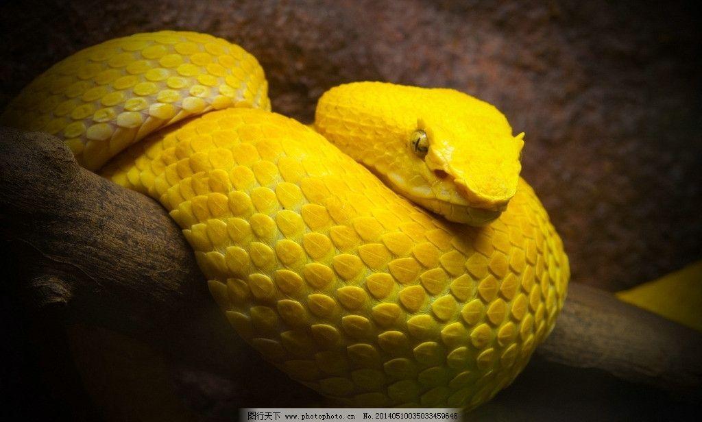 图片素材下载 野生动物 生物世界 摄影 鳞片 蛇年 化身 冷血动物 缅甸