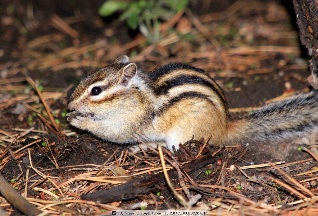 松鼠 植物园松鼠 松鼠吃 小松鼠 松鼠图 野生动物 生物世界 摄影 300