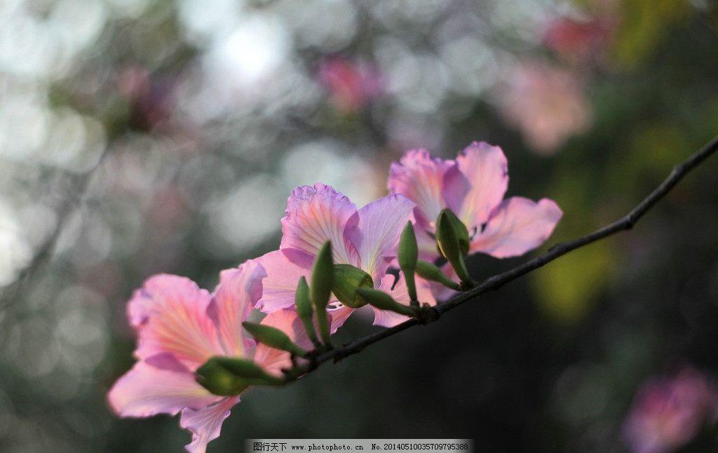 紫荆花 紫荆树 花卉 景观 园林 树木 花草 生物世界 摄影 72dpi jpg