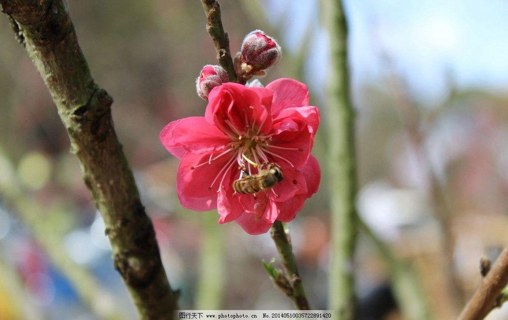 桃花 花朵 红色 蜜蜂 春天 花草 生物世界 摄影 72dpi jpg