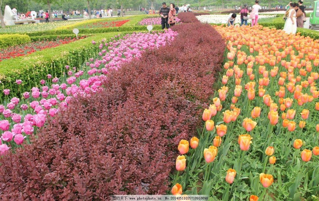 郁金香 粉红花 黄花 红叶 花朵 鲜花 绿叶 摄影 百花争艳 花草 生物世