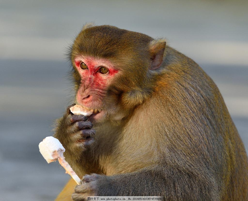 吃冰淇淋的胖猴子图片